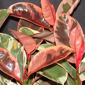 Ruby_ficus_full_1_thumb_300x300