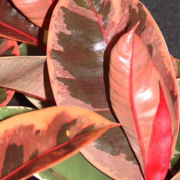 Ruby Rubber Tree - Ficus Elastica 'Ruby'
