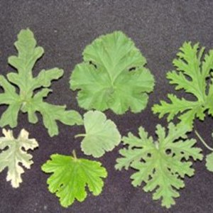 Scented_geranium_collection_full_thumb_300x300