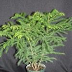 Norfolk Island Pine (Araucaria heterophylla )