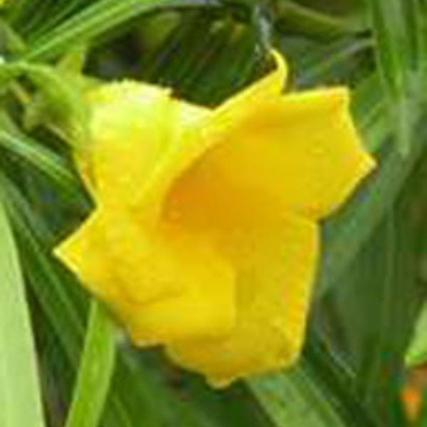 Peruvian Oleander -Thevetia Peruviana - Yellow Color