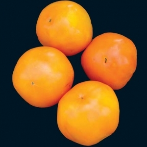 Tomato_dads_sunset_thumb_300x300