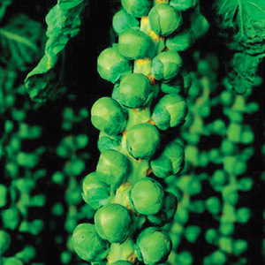 Brussels_sprouts_thumb_300x300