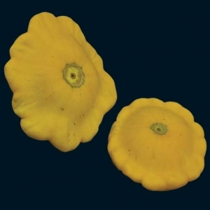 Squash_yellow_scallop_thumb_300x300