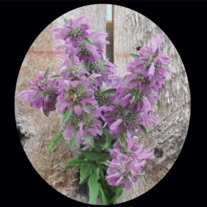 Herb_bee_balm_thumb_300x300