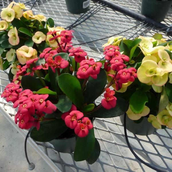 Euphorbia, Dwarf Crown of Thorns