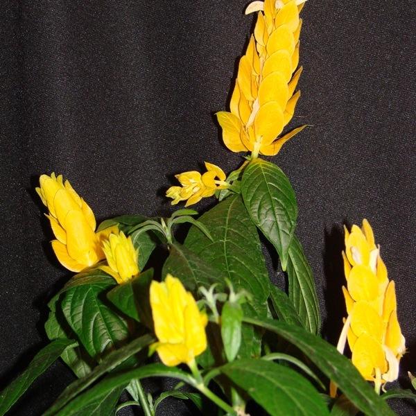 Golden Shrimp Plant