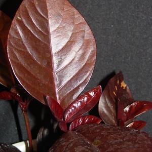 Pseuderanthemum_rubrum_full_1_thumb_300x300