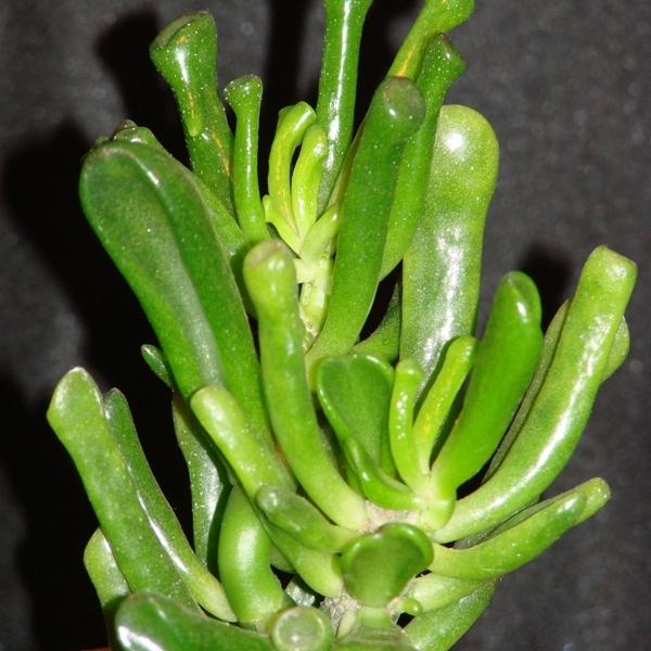 Spoon Jade, Hobbit Jade