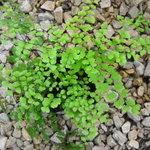 Southern Maidenhair Fern (Adiantum capillus )