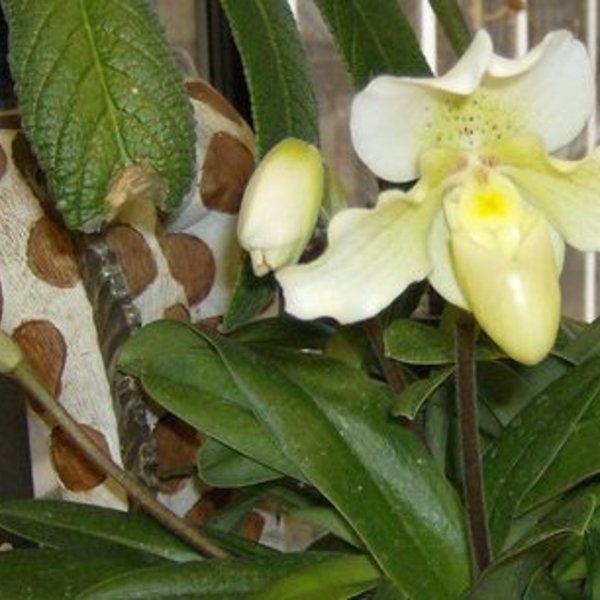 Slipper Orchid Rosy Dawn