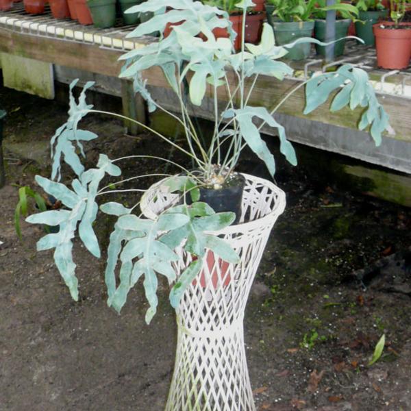 Phlebodium Pseudoaureum - HARDY BLUE FERN