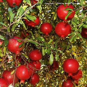 Pomegranate-wonderful_thumb_300x300
