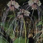 Black Bat Plant - Tacca Chantrieri (Tacca chantrieri )