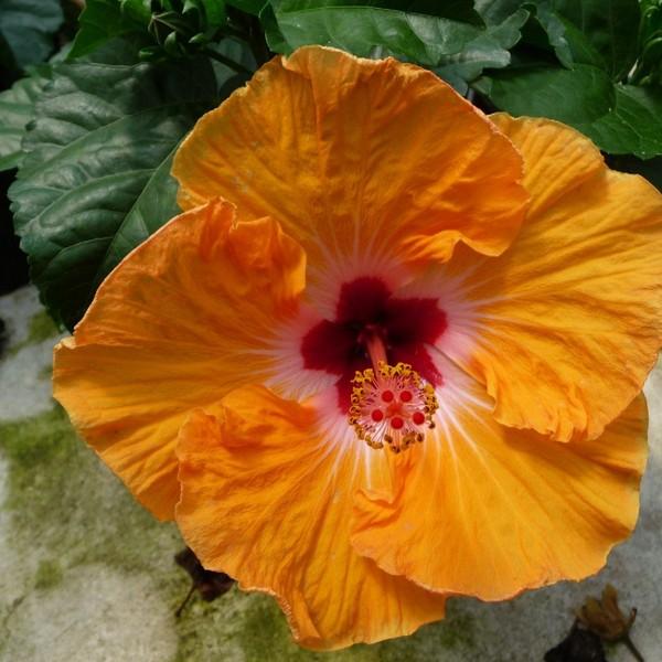 Hibiscus 'Mandarin Wind'