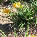 Daylily Stella de Oro Perennial - 9 Plants 2 to 3 fan  (Hemerocallis stella de oro )