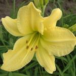 DAYLILY HYPERION. 6 plants 2-3 fan. NICE! (Hemerocallis hyperion )