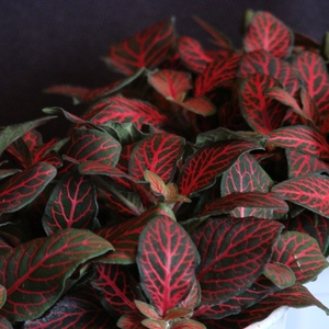 Red_veined_fittonia_full_2_thumb_300x300