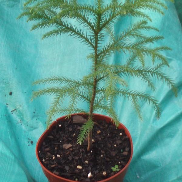NORFOLK ISLAND PINE TREE / STAR PINE - Araucaria heterophylla