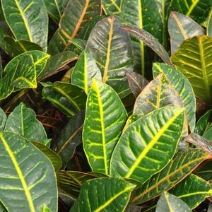 Croton_petra_full_3_thumb_300x300
