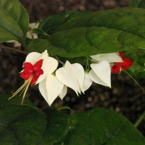Clerodendron_bleeding_heart_full_4_thumb_300x300