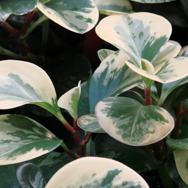 Marble Peperomia - Peperomia Obtusifolia 'Marble'