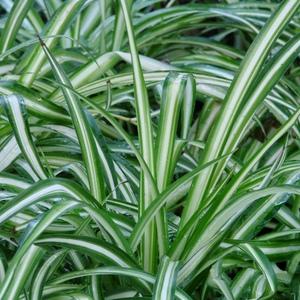 Spider_plant_full_3_thumb_300x300