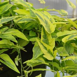 Solanum_variegated_potato_vine_full_2_thumb_300x300