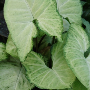 Syngonium_white_butterfly_full_3_thumb_300x300