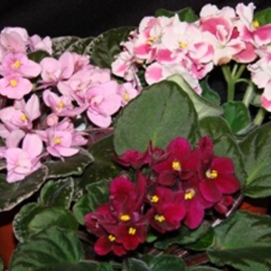 African_violet_full_thumb_300x300