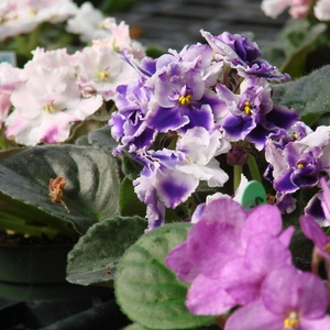 African_violet_full_3_thumb_300x300