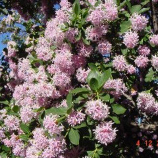 POM POM TREE -Dais cotinifolia   **RARE**