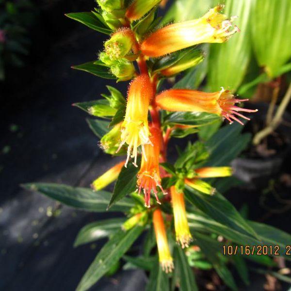 Candy Corn Plant Cuphea Micropetala