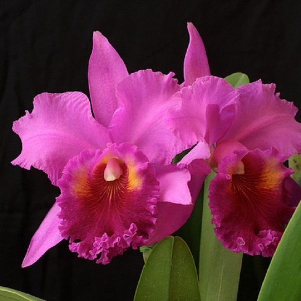 Orchid Plant - Blc. Saint Catherine's Creek 'Kasai'