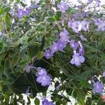 Streptocarpus Saxorum (Streptocarpella) (Streptocarpus saxorum 'Streptocarpella')