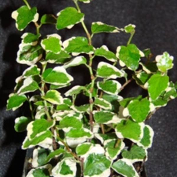 Variegated Creeping Fig - Fics Repens 'Variegata'