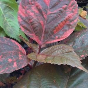 Acalypha_bronze_pink_full_3_thumb_300x300
