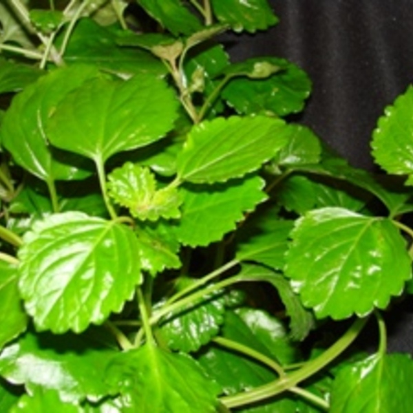 Swedish Ivy - Plectranthus Verticillatus