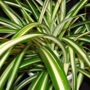Variegated_spider_plant_full_thumb_300x300