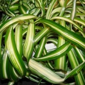 Bonnie_spider_plant_full_thumb_300x300